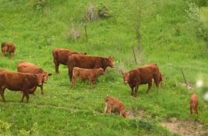 Badger Creek Red Angus